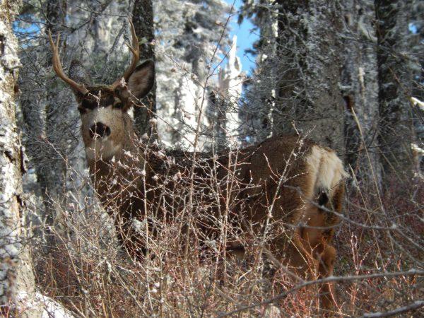 Mule Deer 002