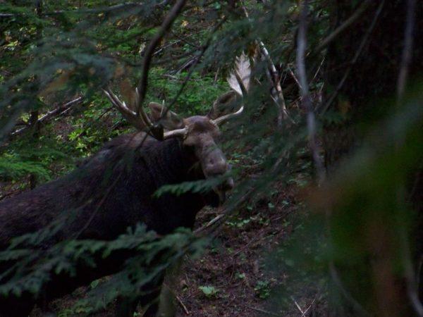 2012 Moose at wallow 1
