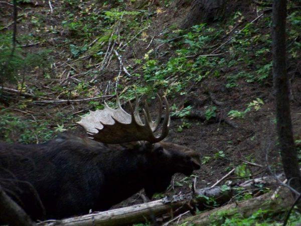 2012 moose at wallow 2