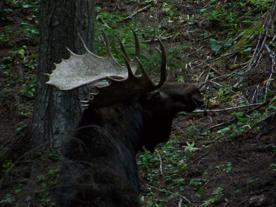 2012 moose at wallow 3